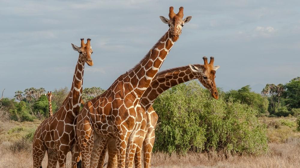 Netzgiraffen in Kenia