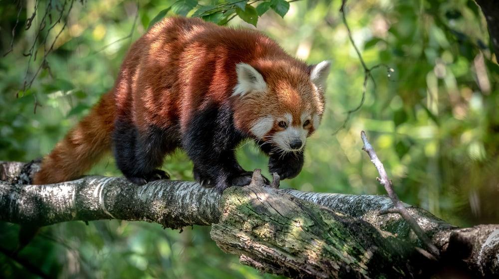 Kleiner Panda im Zoo Zürich.