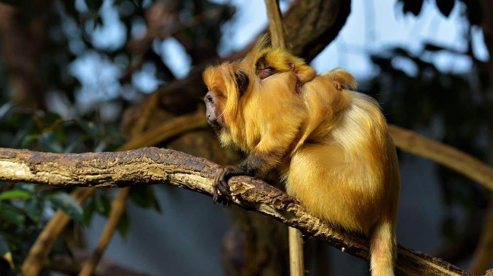 Goldgelbes Löwenäffchen Foto: Leyla Davis