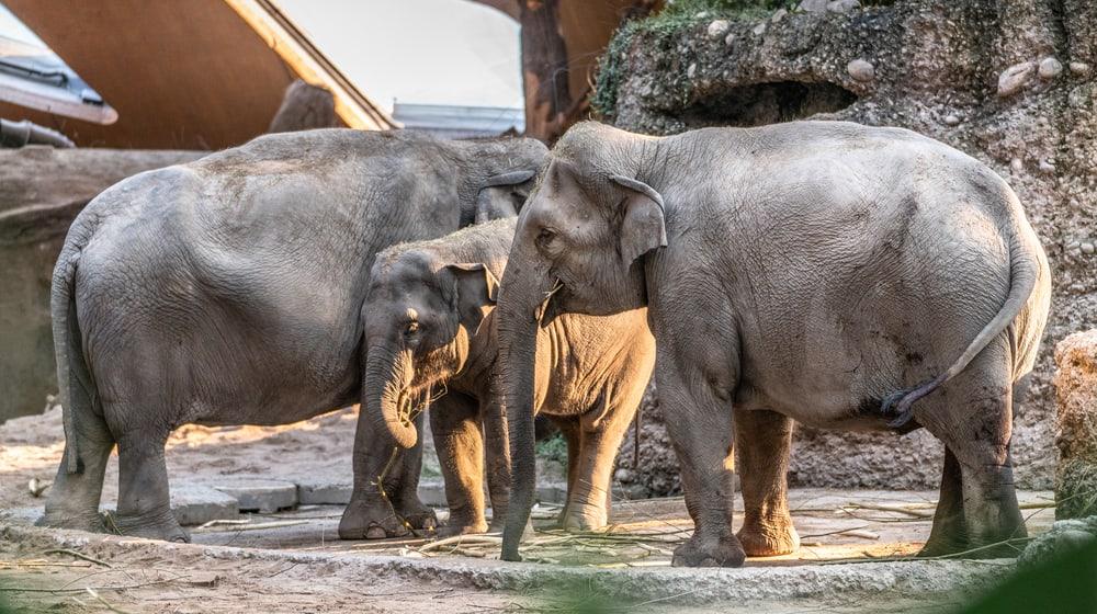 Asiatische Elefanten Ceyla-Himali, Ruwani und Farha im Kaeng Krachan Elefantenpark.