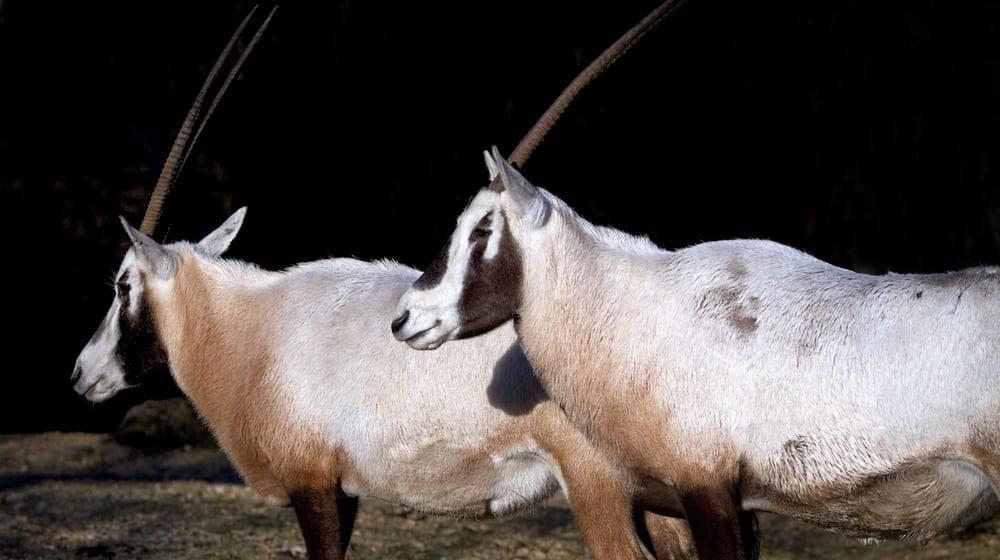 Arabische Oryx im Zoo Zürich.