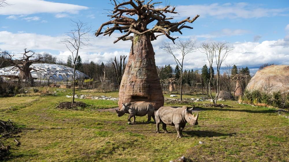 Nashörner_Baobab