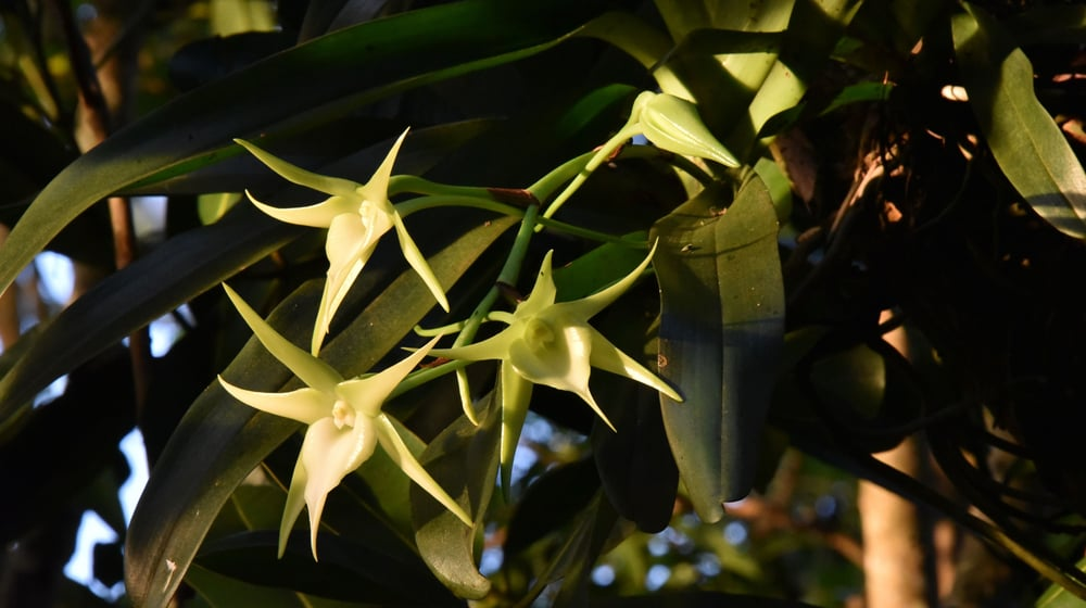Stern von Madagaskar im Masoala Regenwald.