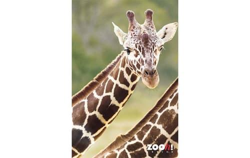 Zoo-Poster Giraffe