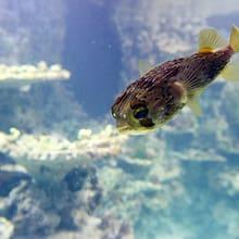 Brauner Igelfisch im Aquarium des Zoo Zürich.