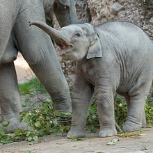 Asiatischer Elefant Ruwani im Elefantenpark des Zoo Zürich