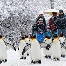 Pinguinparade im Zoo Zürich
