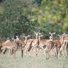 Impalas im Lewa Wildlife Conservancy in Kenia.