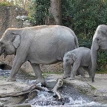 Asiatische Elefanten im Zoo Zürich.
