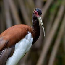 Mähnenibis im Masoala Regenwald