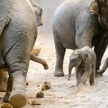 Junger Asiatischer Elefant im Kaeng Krachan Elefantenpark.