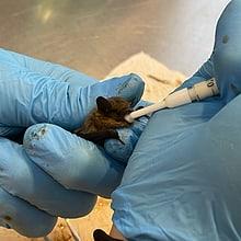 Fütterung einer Zwergfledermaus in der Fledermaus-Notpflegestation.