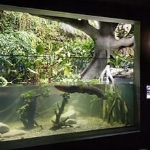 Zitteraal im Aquarium des Zoo Zürich.