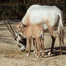 Junge Arabische Oryx im Zoo Zürich.