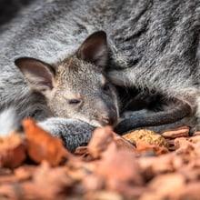 Schlafendes Bennett-Wallaby im Zoo Zürich.