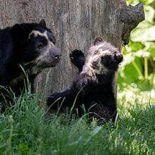 Brillenbärin Cocha (l.) mit ihrem Jungtier Uyuni.
