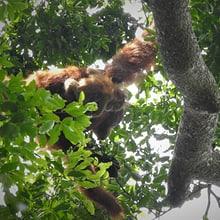 Sumatra-Orang-Utans Edelweiss (Mutter) und Eja in Jantho, Sumatra.