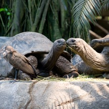 Aldabra-Riesenschildkröten im Masoala Regenwald