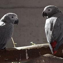Graupapageien im Zoo Zürich.
