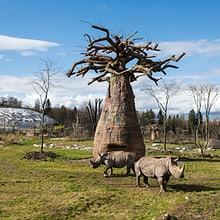 Breitmaulnashörner und Futterbaum in der Lewa Savanne.