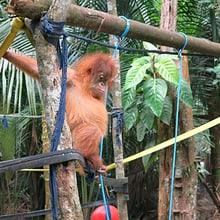 Junger Orang-Utan in Sumatra.