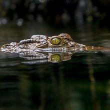 Philippinen-Krokodil im Zoo Zürich