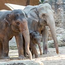 Asiatische Elefanten Chandra, Omysha und Indi im Zoo Zürich