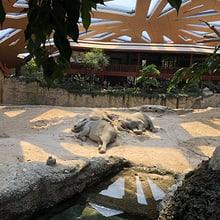 Schlafende Elefanten im Zoo Zürich.