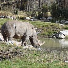 Breitmaulnashorn in der Lewa Savanne im Zoo Zürich.