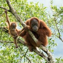 Wiederausgewilderter Sumatra-Orang-Utan mit Nachwuchs.