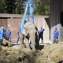 Elefantenkuh Druk braucht Hilfe beim Aufstehen