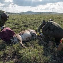 Tierarzt Matthew Mutinda verarztet im Lewa Wildlife Conservancy ein Grevyzebra.