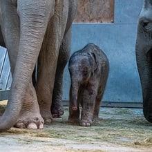 Elefanten mit neugeborenem Jungtier im Kaeng Krachan Elefantenpark im Zoo Zürich.