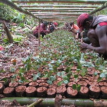 Production de Pepinière in Madagaskar.
