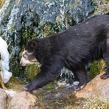 Brillenbärin Sisa im Sangay Bergnebelwald im Zoo Zürich.