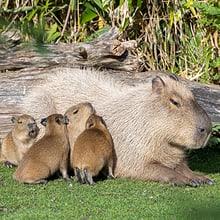 Capybara-Weibchen Sissi mit vier Jungtieren.