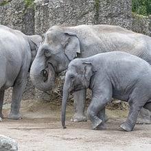 Asiatische Elefanten Farha, Ceyla-Himali und Ruwani im Kaeng Krachan Elefantenpark im Zoo Zürich.