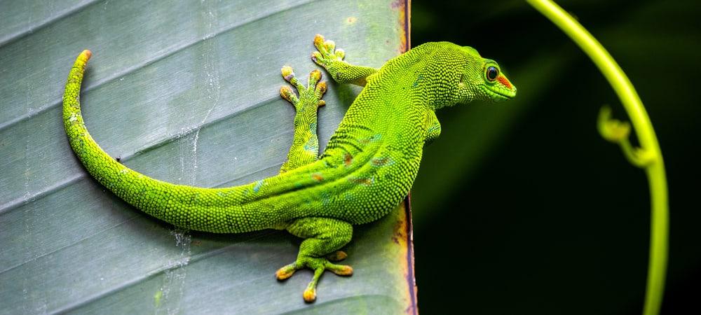 Grosser_Madagaskar_Taggecko