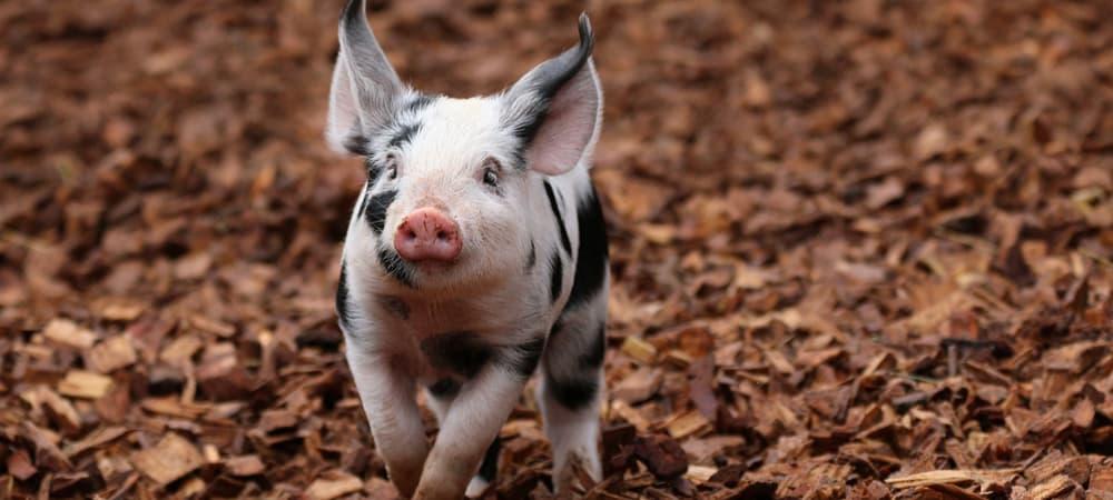 Schwein_Zoo_Zuerich