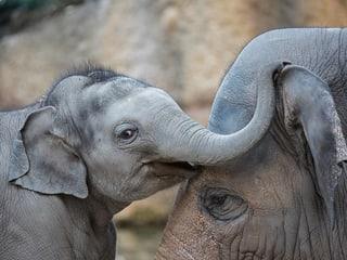 Asiatische Elefanten im Zoo Zürich