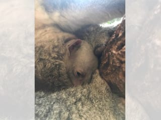 Joey von Koala Pippa im Zoo Zürich.