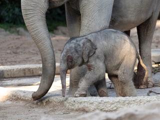 Junger Elefantenbulle Umesh im Zoo Zürich.