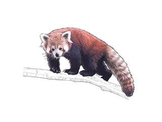 Illustration Petit Panda