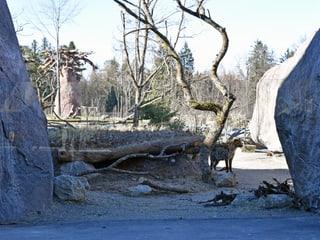 Einblick Hyänenanlage in der Lewa Savanne im Zoo Zürich.