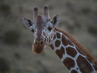 Netzgiraffe im Lewa Wildlife Conservancy in Kenia.