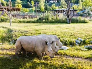 Breitmaulnashörner auf der Savanne