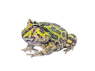 Illustration Cranwells Schmuckhornfrosch