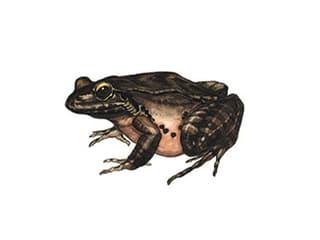 Illustration Antillen-Ochsenfrosch