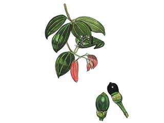 Illustration Ceylon-Zimt