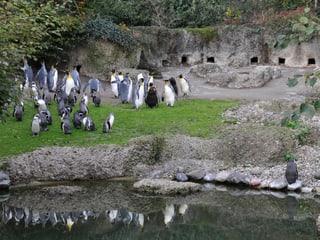 Königspinguine und Humboldtpinguine im Zoo Zürich.
